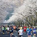 천년고도 벚꽃 레이스, 제27회 경주벚꽃마라톤대회 접수마감 임박