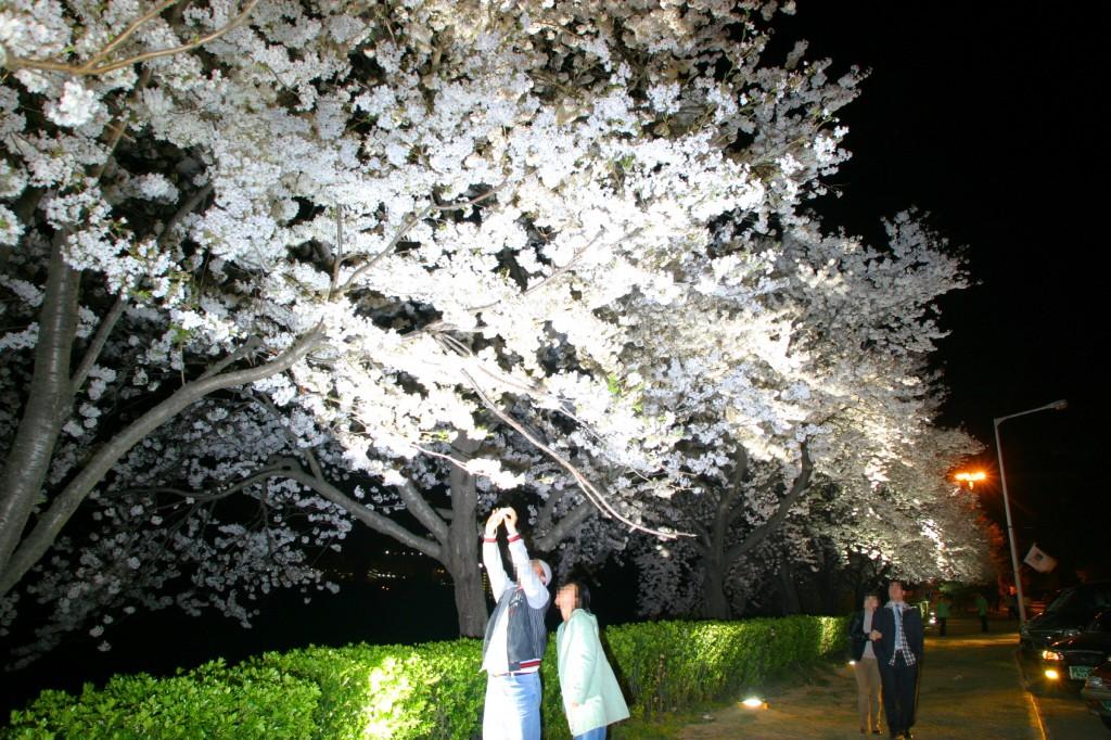 3-2. 핑크빛 벚꽃과 함께 경주의 화려한 봄 즐기세요 (1)
