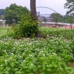 동궁원 메밀꽃밭, 하얗게 만발한 사잇길을 거닐어 보세요