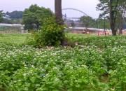 2. 동궁원 메밀꽃밭, 하얗게 만발한 사잇길을 거닐어 보세요 (3)